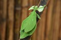 Giant Leaf Insect