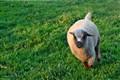 sheep runing
