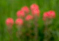 Indian Paint Brush blooming and Central Texas