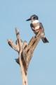Belted Kingfisher Viera Wetlands, Melbourne, FL