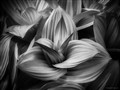 Hostas in Infrared