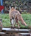 Foxy legs
