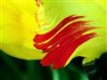 Tulip's trademark