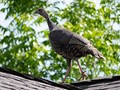 A wild turkey on the roof, in Folsom, CA.