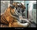 tiger in prison