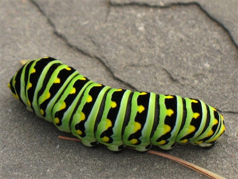 Green-Black_Caterpilar_m