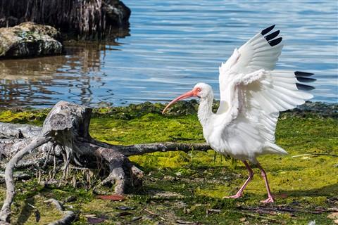 White Ibis landing at Key Largo, Florida