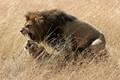 Lions mating, Maasai Mara National Reserve, Kenya