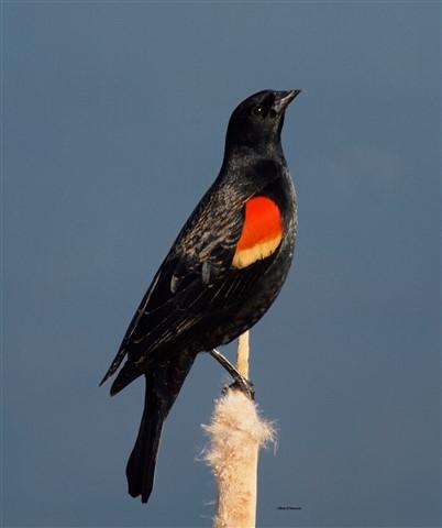 Red Winged Blackbird 3-27-13