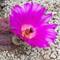 Echinocereus Cactus