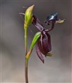 Flying Duck Orchid_edited-3