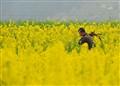 A farmer at a rape flower field, Guizhou