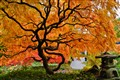 Japanese Cutleaf Maple