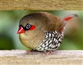 Red-eared Firetail 11