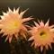 Echinopsis Hybrid Rheingold P6021301-rid