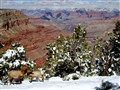 Elk at Grand Canyon in the Snow