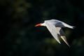 An elegant Caspian Tern