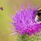 Hoverfly Incoming: Marmalade Hoverfly (Episyrphus balteatus) approaching a flowering thistle where a White-tailed Bumblebee is hard at work.