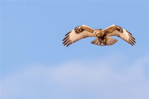 Rough-legged Hawk #2