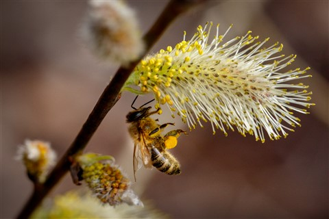 Willow Catkins with Bee