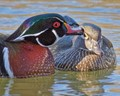 Mr. Wood Duck Giving the Missus a Smooch