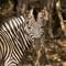 Zebra_8322