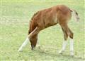 ArabianFoal