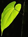 One Green Leaf - Backlit