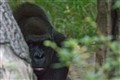 Save The Congo Gorilla