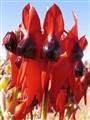 Sturt's Desert Pea - state flower, South Australia