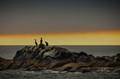 Cormorants, Oregon Coast