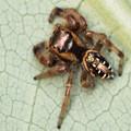Female Jumping Spider Eris Aurantia