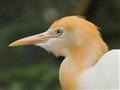Catle egret head_MG_0332-01crop