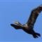 Cormorant 2 110312