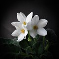 Beauty delicate violets