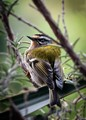 Regulus ignicapilla. The firecrest (Regulus ignicapilla) is a very small passerine bird in the kinglet family. It breeds in most of temperate Europe and northwestern Africa. It is a small plump bird, 9 cm in length with a wingspan of 13–16 cm and weighs 4–7 grams