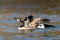 Canada Goose - courtship behaviour
