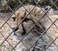 caged young cheetah