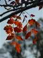 Chinese pistacio leaves