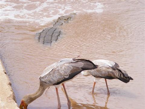 Croc&Stork