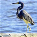 Handicapped Heron