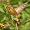 Butterflies_P6172067