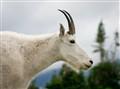 Rocky Mountain Goat Nanny (Oreamnos americanus)