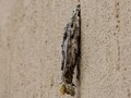 Case moth cocoon