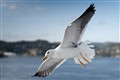 Norwegian Seagull