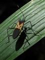 Shadow bug