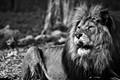 Lion B&W