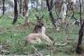 Kangaroo at Para Wirra
