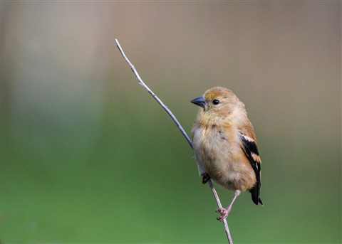 Immgoldfinch