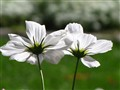 Twin White Cosmos